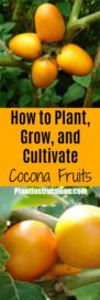 How to Grow Cocona
