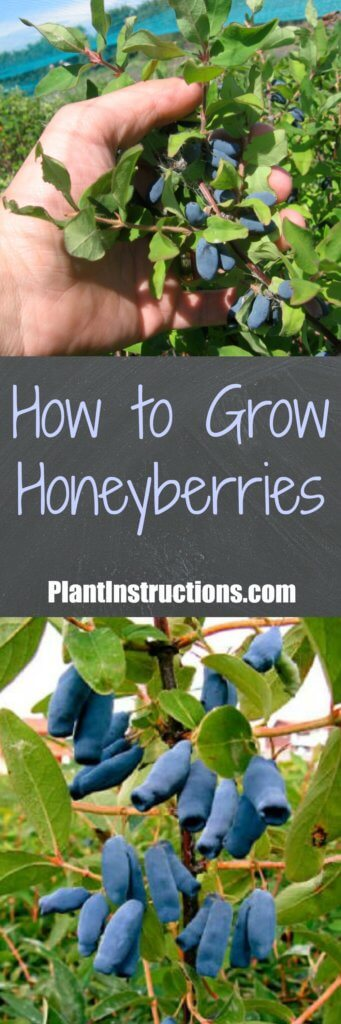How to Grow Honeyberries
