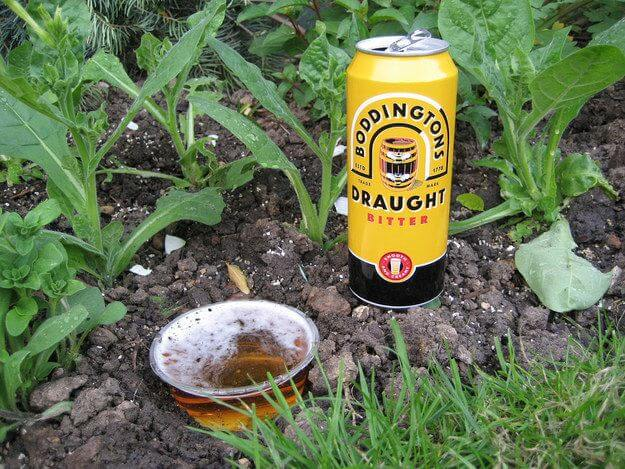 beer to kill slugs