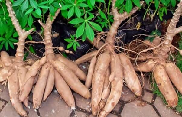 How to Grow Cassava, Also Known As Yuca