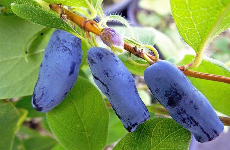 How to Grow Honeyberries in Pots
