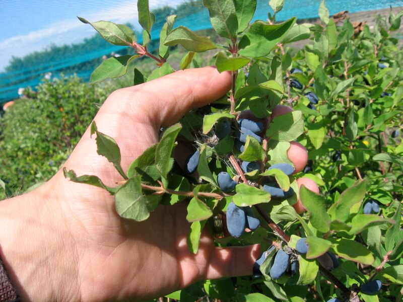 honeyberry harvest