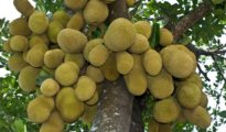 How to Grow Jackfruit