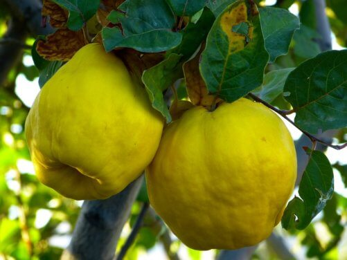 How to Grow Quince Trees