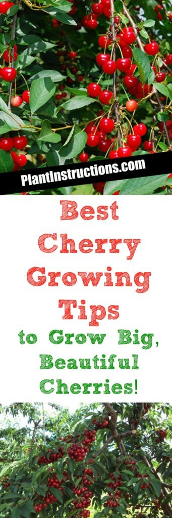Cherry Growing Tips