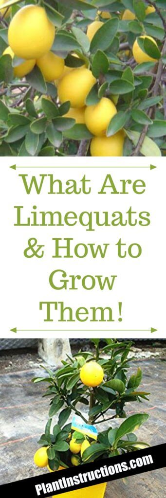 how to grow limequat