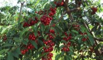 Cherry Growing Tips: How to Grow Healthy, Delicious Cherry Tree