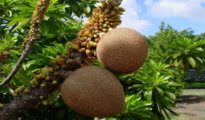How to Grow a Mamey Tree