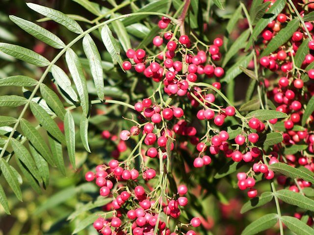 How to Grow a Peppercorn Plant
