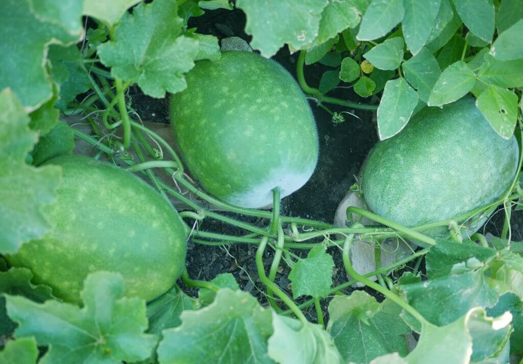 winter melon plant
