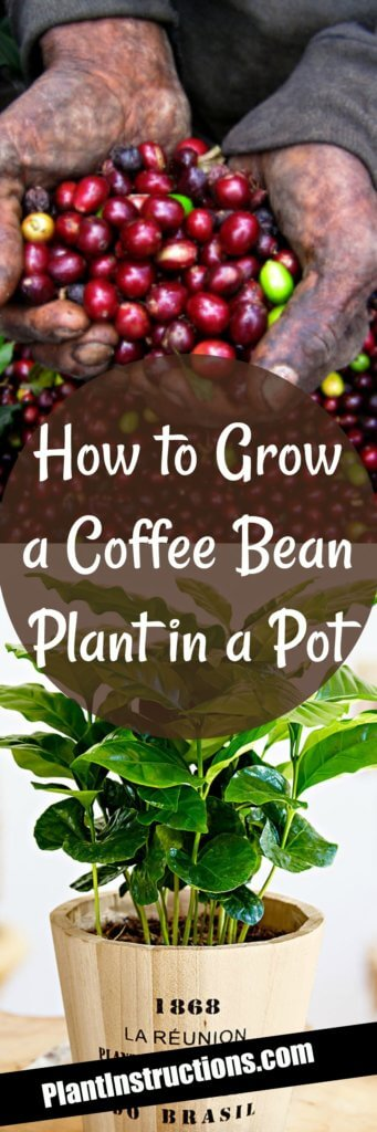 How to Grow Coffee Plants In Pots