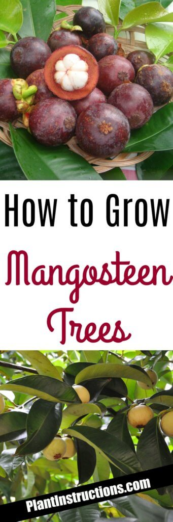 How to Grow Mangosteen Trees - Plant Instructions