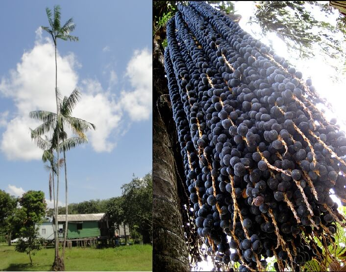 acai berry palm