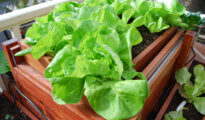 How to Grow Lettuce Indoors