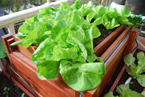 indoor lettuce