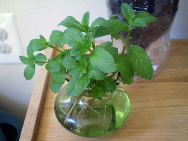 stevia in water