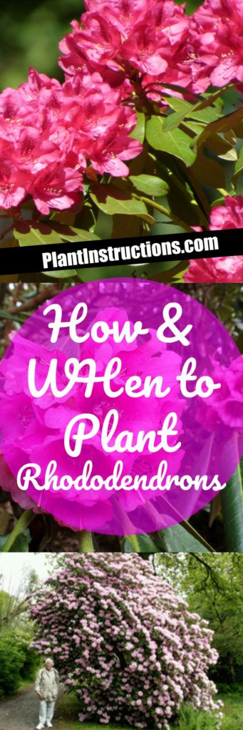 How to Plant Rhododendrons