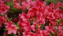 How to Plant Azaleas in Your Garden