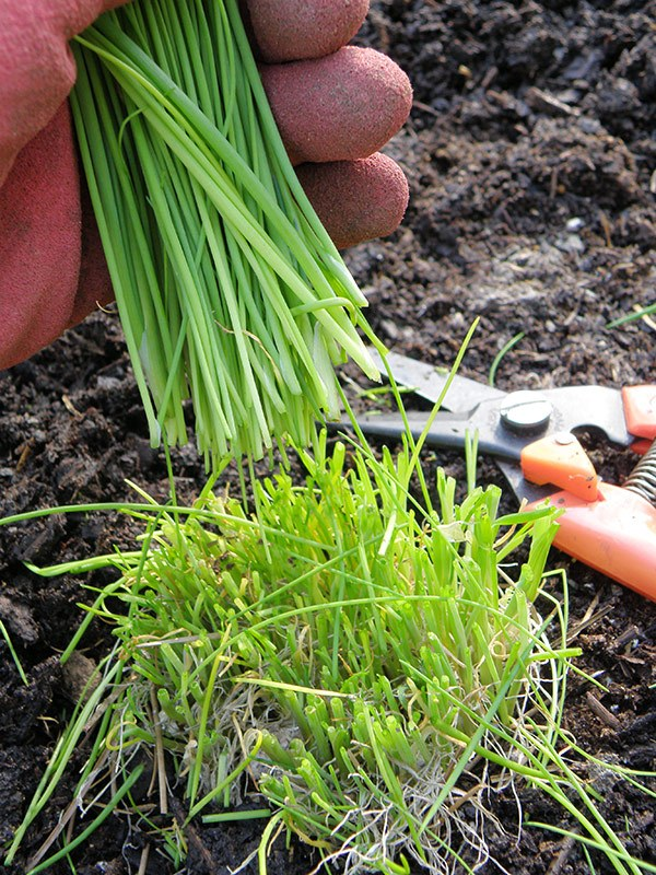 How to Grow Chives From Seed - Plant Instructions