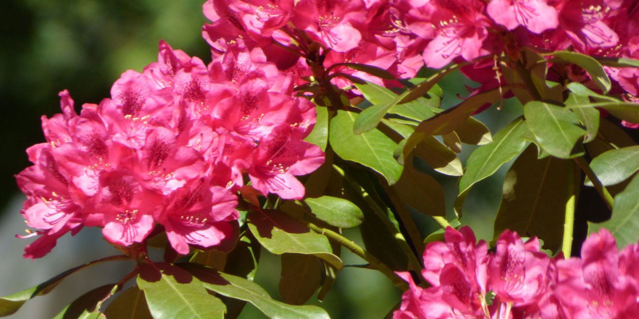 How to Plant Rhododendrons in Your Garden