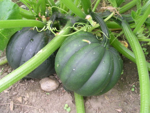 How to Grow Squash – A Gardening Guide