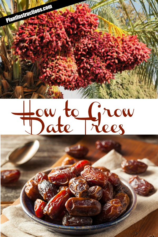 How to Grow Date Trees