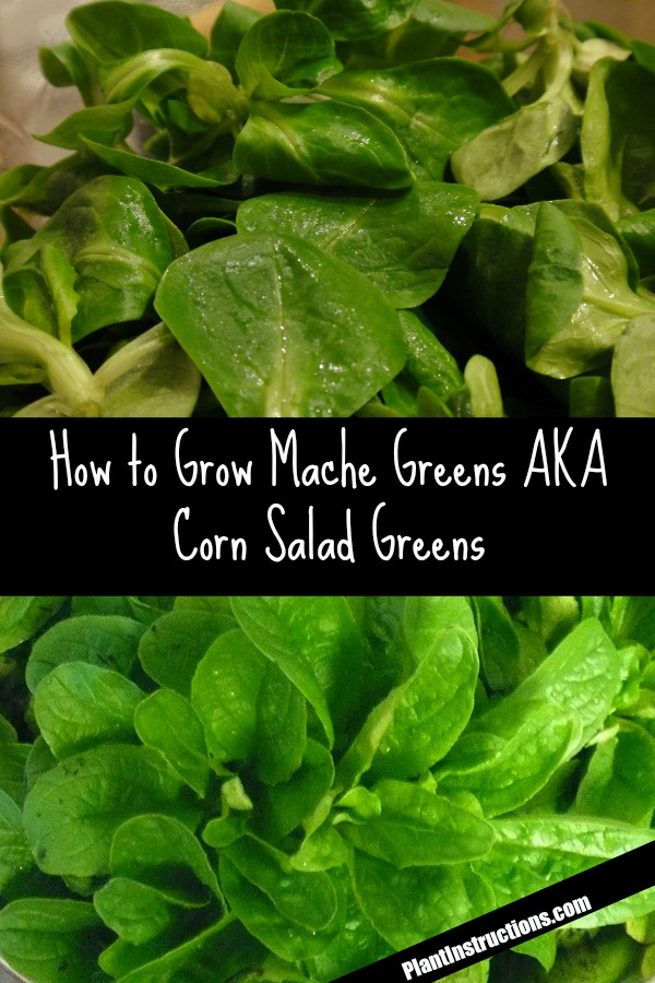 How to Grow Mache Greens