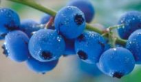 10 Tips for Growing Blueberries