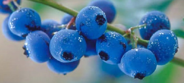 6 Tips for Growing Blueberries