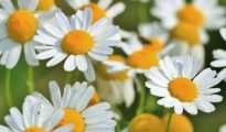 How to Grow and Harvest Chamomile