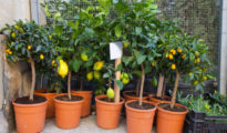 How to Grow Orange Trees in Pots