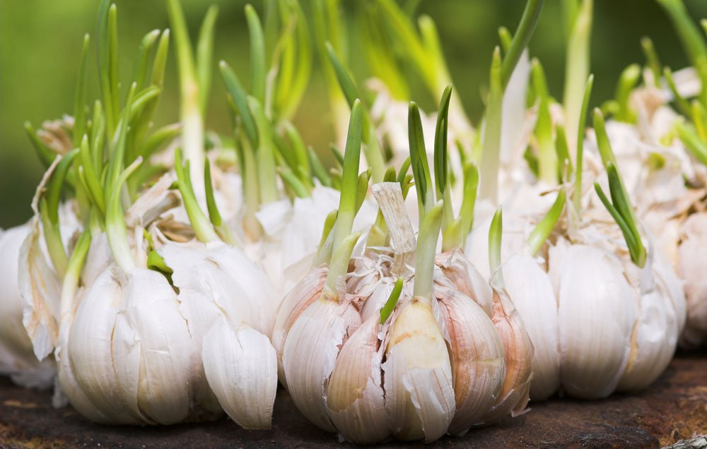 6 Garlic Growing Tips From the Pros