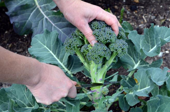 5 Broccoli Growing Tips for a Big Harvest
