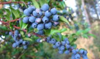 How to Grow Huckleberries