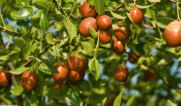 How to Grow Jujube Trees