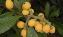 How to Grow Loquat Trees