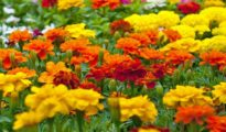 How to Plant Marigolds in Your Garden