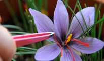 How to Grow Saffron Indoors