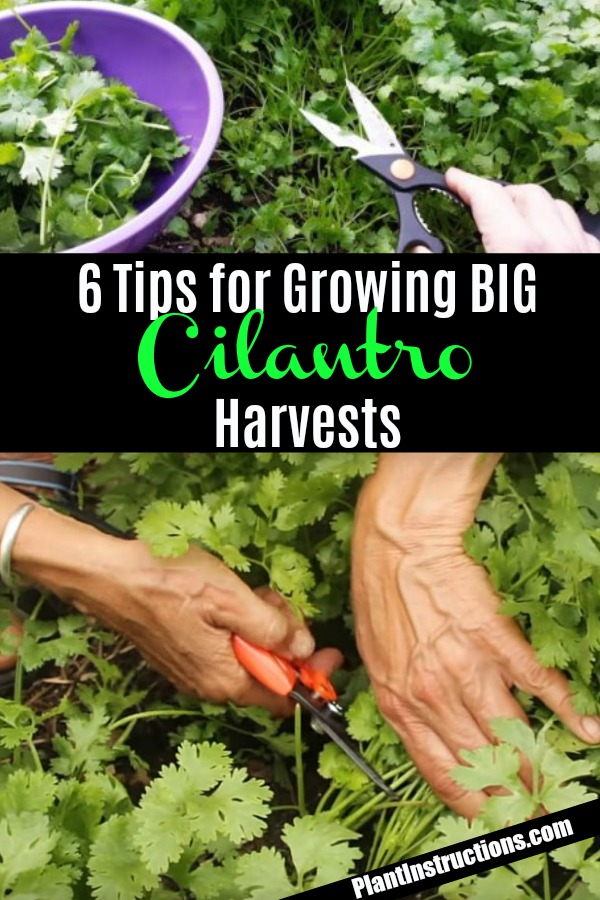 tips for growing cilantro