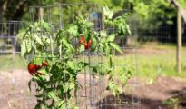 5 Ways to Stake Tomatoes for a Bountiful Tomato Harvest