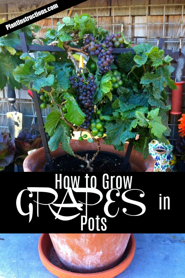 Grow Grapes in Pots