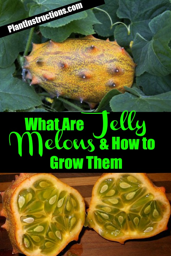 How to Grow Jelly Melon
