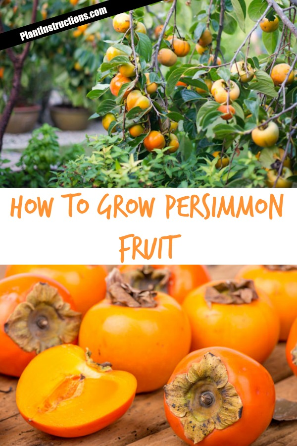 How to Grow Persimmon