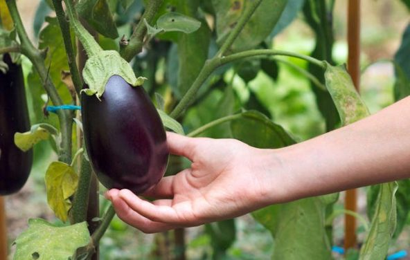 10 Tips for Growing Eggplant For an Amazing Harvest