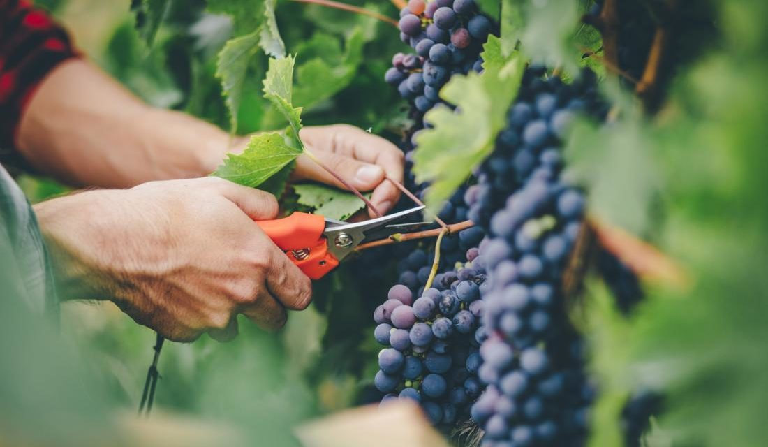 How to Grow Grapes in Your Garden