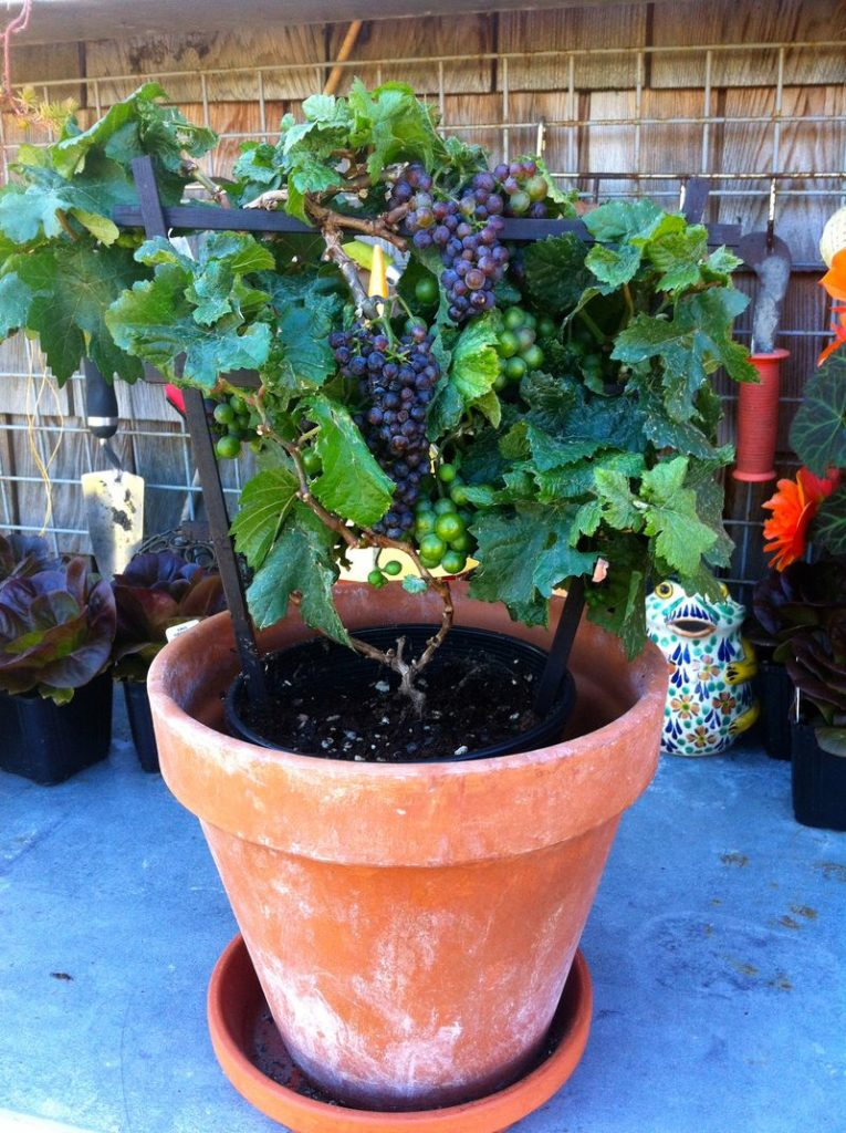 grapes in pots