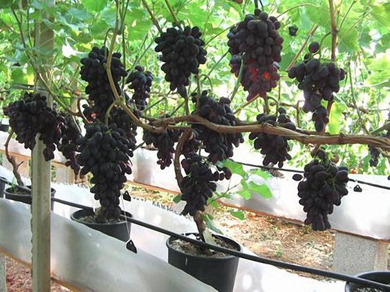 growing grapes in pots