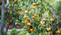 How to Grow Persimmon Fruit
