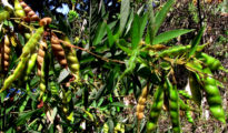 How to Grow Pigeon Peas