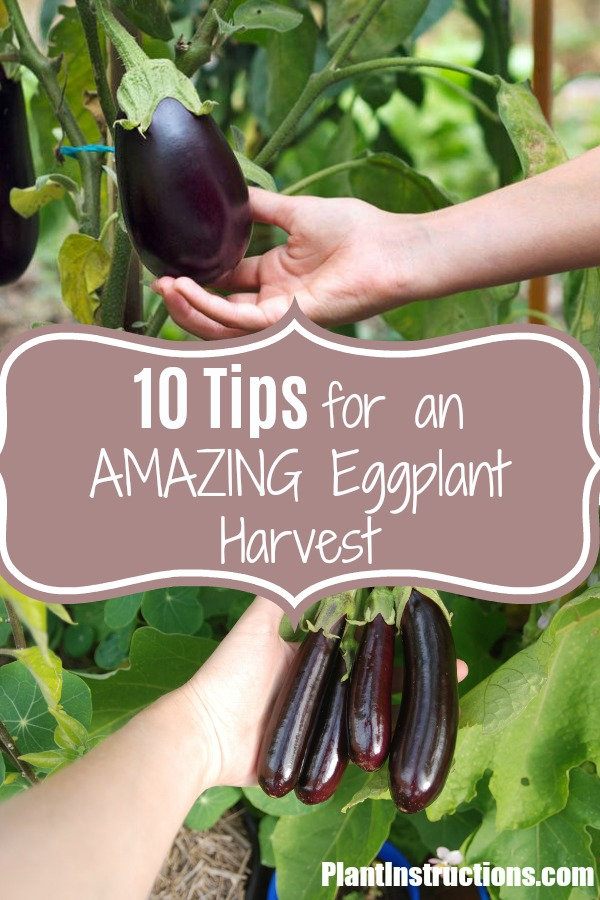 tips for growing eggplant